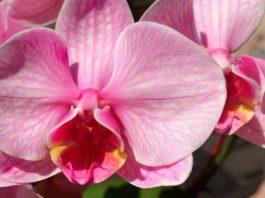 Hoan-Lan ou a lenda da orquídea.
