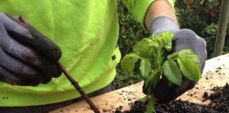 Multiplicar as plantas por estaca