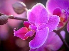 Orquídea Blossom