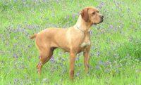 Cão da raça Perdigueiro Português