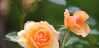 Saiba como cuidar das rosas no jardim
