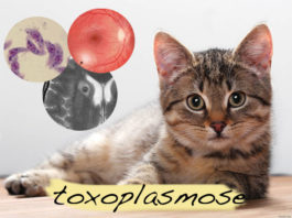 Toxoplasmose a doença dos gatos