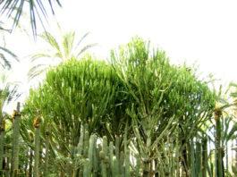 Planta xeromórfica