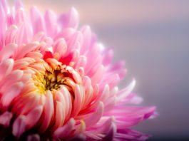 Como cuidar do crisântemo, a flor tipica do Outono