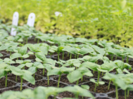 Doenças nas sementeiras