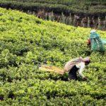 A verdadeira história do chá, mitos e lendas