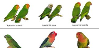 Principais tipos de Agapornis